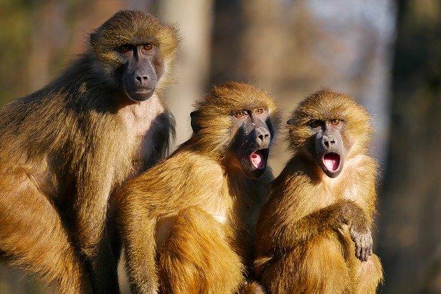 Μαϊμούδες έκλεψαν δύο βρέθη – Το ένα βρέθηκε νεκρό